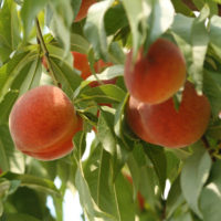 cropped peaches (1)