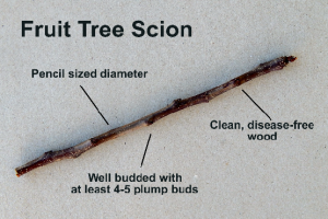 Fruit Tree Scion(1)