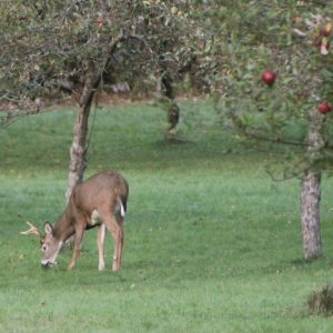 deer in orchard